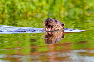 European river otter (Lutra lutra) with mouth open, in river, Dorset, UK, November  -  Andy Rouse / 2020VISION