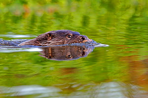 European river otter (Lutra lutra) swimming, river, Dorset, UK, November  -  Andy Rouse / 2020VISION