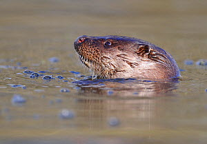 European river otter (Lutra lutra) head sticking out of water, river, Dorset, UK, November  -  Andy Rouse / 2020VISION