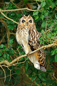 Short eared owl (Asio flammeus) perched in ivy, hunting, Essex, UK, January - Andy Rouse / 2020VISION