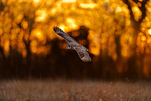 Short eared owl (Asio flammeus) in flight, hunting, Essex, UK, January - Andy Rouse / 2020VISION