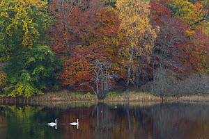 Two Mute swans (Cygnus olor) on water with a backdrop of autumn trees, Loch Insh, Cairngorms NP, Highlands, Scotland, October 2011 - Peter Cairns / 2020VISION