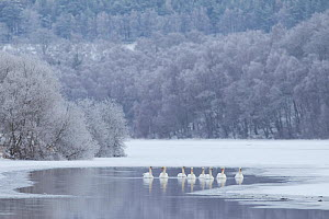 Group of Mute swans (Cygnus olor) on a partially frozen loch, Loch Laggan, Creag Meagaidh NNR, Scotland, UK, December 2010 - Peter Cairns / 2020VISION