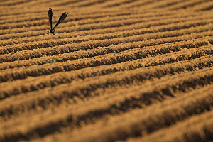 Lapwing (Vanellus vanellus) flying low over a ploughed field, Scotland, UK, June 2010  -  Mark Hamblin / 2020VISION
