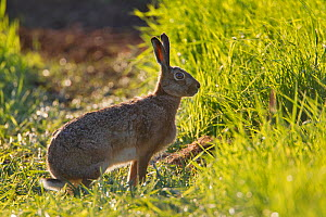 Brown hare (Lepus europaeus) in an arable field, Scotland, UK, May 2010. Did you know? The European brown hare is the fastest land mammal in the UK. - Mark Hamblin / 2020VISION