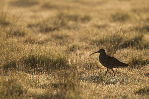 Curlew (Numenius arquata) adult in breeding habitat in early morning light, Cairngorms NP, Scotland, UK, June 2010  -  Mark Hamblin / 2020VISION