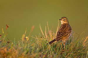 Meadow pipit (Anthus pratensis) on ground in rough grassland, Scotland, UK, May 2010  -  Mark Hamblin / 2020VISION