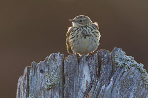 Backlit Meadow pipit (Anthus pratensis) perched on an old post, Scotland, UK, May 2010 - Mark Hamblin / 2020VISION
