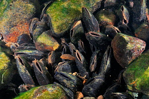 Freshwater pearl mussels (Margaritifera margaritifera) on river bed, Ennerdale Valley, Lake District NP, Cumbria, England, UK, October 2011. 2020VISION Book Plate.  -  Linda Pitkin / 2020VISION