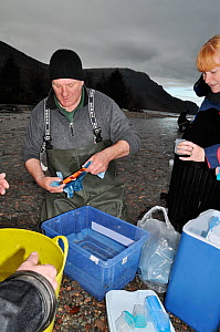 Environment Agency staff preparing to remove sperm from Arctic charr (Salvelinus alpinus) for a breeding programme, Ennerdale Valley, Lake District NP, Cumbria, England, UK, November 2011 - Linda Pitkin / 2020VISION