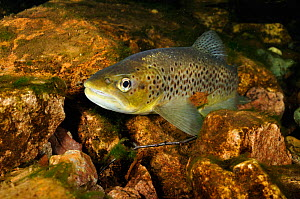 Brown trout (Salmo trutta), Ennerdale Valley, Lake District NP, Cumbria, England, UK, November 2011. Did you know? Trout scales have growth rings which you can read in the same way tree rings.  -  Linda Pitkin / 2020VISION