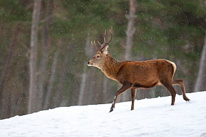 Red deer (Cervus elaphus) stag in pine woodland in winter, Cairngorms National Park, Scotland, UK, February. Did you know? British red deer are different to European red deer, having a shorter tail an... - Mark Hamblin / 2020VISION