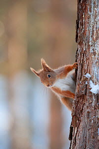 Red Squirrel (Sciurus vulgaris) adult peering around pine trunk in snow, Cairngorms National Park, Scotland, NP February - Mark Hamblin / 2020VISION