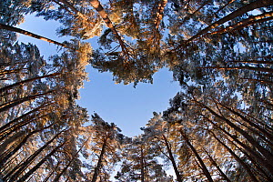 Looking up through the canopy of Scots pine trees (Pinus sylvestris) woodland showing heart shaped opening in canopy, Abernethy Forest, Highland, Scotland, UK, February. 2020VISION Book Plate. Did you... - Mark  Hamblin / 2020VISION