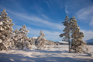 Snow-covered Scots pine trees (Pinus sylvestris) on the edge of Loch Morlich, Cairngorms National Park, Scotland, UK, February 2010 - Mark  Hamblin / 2020VISION