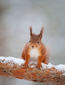 Red squirrel (Sciurus vulgaris) in snow, Scotland,  UK, November  -  Mark Hamblin / 2020VISION