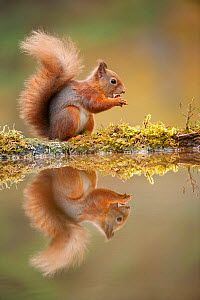 Red squirrel (Sciurus vulgaris) at woodland pool, feeding on nut, Scotland, UK, November - Mark Hamblin / 2020VISION