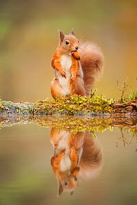 Red squirrel (Sciurus vulgaris) at woodland pool, feeding on nut, Scotland, UK, November. Highly commended, 'Animal Portraits' category, British Wildlife Photography Awards (BWPA) competition 2012.  -  Mark Hamblin / 2020VISION
