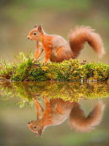 Red squirrel (Sciurus vulgaris) at woodland pool, Scotland, UK, November  -  Mark Hamblin / 2020VISION