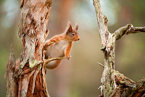 Red squirrel (Sciurus vulgaris) on old pine stump in woodland, Scotland, UK, November - Mark Hamblin / 2020VISION