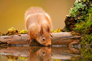Red squirrel (Sciurus vulgaris) drinking from woodland pool, Scotland, UK, November  -  Mark Hamblin / 2020VISION