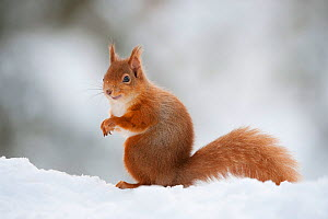 Red Squirrel (Sciurus vulgaris) adult in snow, Cairngorms National Park, Scotland, February  -  Mark Hamblin / 2020VISION