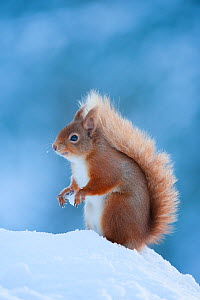 Red Squirrel (Sciurus vulgaris) adult in snow, Cairngorms National Park, Scotland, UK, February  -  Mark Hamblin / 2020VISION