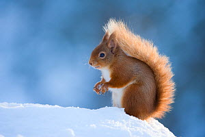 Red Squirrel (Sciurus vulgaris) adult in snow, Cairngorms National Park, Scotland, UK, February. Did you know? Red squirrels aren't always red - they can be brown, black or even grey. - Mark Hamblin / 2020VISION