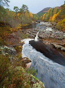 River Affric flowing through Silver birch and Scots pine woodland in autumn, Glen Affric, Highland, Scotland, UK, October 2010  -  Mark Hamblin / 2020VISION