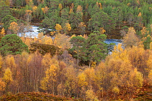 River Affric flowing through Silver birch (Betula pendula) and Scots pine trees (Pinus sylvestris) woodland in autumn, Glen Affric, Highland, Scotland, UK, October 2010 - Mark  Hamblin / 2020VISION
