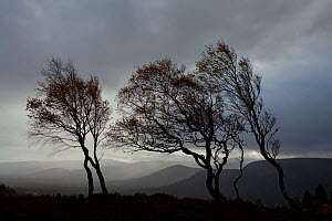 Windswept Silver birch trees (Betula pendula) silhouetted against sky, Cairngorms National Park, Scotland, UK, November. Did you know? Silver birch trees can produce millions of tiny seeds every year.  -  Mark Hamblin / 2020VISION