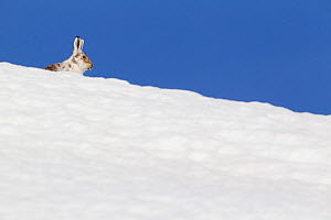 Mountain hare (Lepus timidus) with partial winter coat, head peering over a snow-covered skyline, Scotland, UK, April  -  Mark Hamblin / 2020VISION