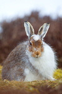 Mountain hare (Lepus timidus) with partial winter coat, Scotland, UK, April - Mark Hamblin / 2020VISION