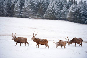 Four Red deer stags (Cervus elaphus) walking and grazing on open snow-covered moorland, near woodland edge, Cairngorms NP, Scotland, UK, December - Mark Hamblin / 2020VISION