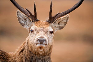 Portrait of Red deer (Cervus elaphus) stag, Lochaber, West Highlands, Scotland, February. Did you know? A Red deer stag weighs 3 times the average weight of a human.  -  Mark Hamblin / 2020VISION