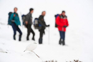 Two Rock ptarmigan (Lagopus mutus) in winter plumage with hill walkers in background, Cairngorms NP, Scotland, UK, February 2010. 2020VISION Book Plate. - Mark Hamblin / 2020VISION