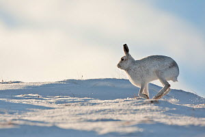 Mountain hare (Lepus timidus) in winter coat running across snow, Scotland, UK, February. Did you know? Brown hares run away in zigzags whilst Mountain hares are more likely to run away in a curve.  -  Mark Hamblin / 2020VISION
