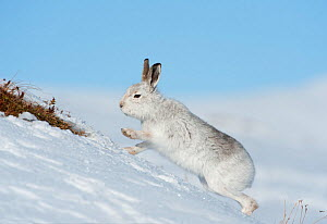 Mountain hare (Lepus timidus) scratching for food in the snow, Scotland, UK, February  -  Mark Hamblin / 2020VISION