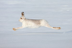 Mountain hare (Lepus timidus) in winter coat running across snow, stretched at full length, Scotland, UK, February. 2020VISION Exhibition. 2020VISION Book Plate. - Mark Hamblin / 2020VISION