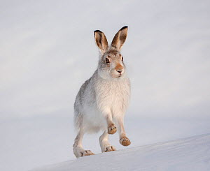 Mountain hare (Lepus timidus) in winter coat, running up a snow-covered slope, Scotland, UK, February. Did you know? Mountain hares'  feet act like snowshoes, spreading out the animal's weight over th...  -  Mark Hamblin / 2020VISION