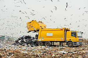 Lesser black-backed gulls (Larus fuscus), Herring gulls (Larus argentatus), Black-headed gulls (Larus ridibundus) and Starlings (Sturnus vulgaris) feeding on landfill site, Pitsea, Essex, England, UK,... - Terry Whittaker / 2020VISION