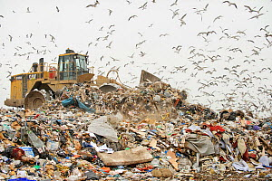 Mixed flock of Gulls (Larus sp.) flying over landfill site, Pitsea, Essex, UK, November 2011 - Terry Whittaker / 2020VISION