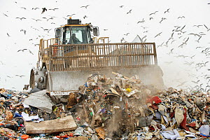 Mixed flock of Gulls (Larus sp.) flying over a landfill site, Pitsea, Essex, England, UK - Terry Whittaker / 2020VISION
