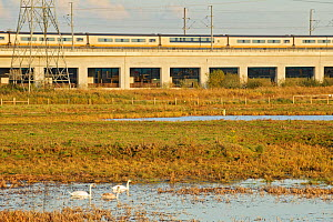 Mute swans (Cygnus olor) with high speed train passing in background, Rainham Marshes RSPB Reserve, RSPB Greater Thames Futurescapes Project, Rainham, Essex, England, UK, November 2011  -  Terry Whittaker / 2020VISION
