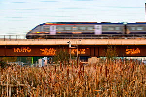 Reedbed with Reedmace (Typha sp) and high-speed train passing in the background, Rainham Marshes RSPB Reserve, RSPB Greater Thames Futurescapes Project, Rainham, Essex, England, UK, November 2011  -  Terry Whittaker / 2020VISION