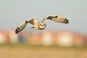 Short-eared owl (Asio flammeus) hunting over farmland, with Burnham-on-Crouch in background, Wallasea Wild Coast Project, RSPB Greater Thames Futurescapes Project, Wallasea Island, Essex, England, UK,...  -  Terry Whittaker / 2020VISION