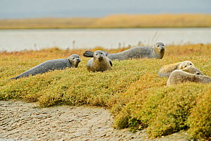 Common seals (Phoca vitulina) hauled out on saltmarsh, Wallasea Wild Coast Project, RSPB Greater Thames Futurescapes Project, Wallasea Island, Essex, England, UK, October  -  Terry Whittaker / 2020VISION