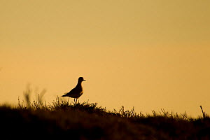 Golden plover (Pluviaris apricaria) silhouetted against the skyline at sunset, Peak District NP, UK, June 2011  -  Ben Hall / 2020VISION