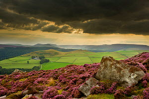 Scenic view of moorland habitat with flowering Heather (Ericaceae sp) in foreground, Peak District NP, August 2011  -  Ben Hall / 2020VISION