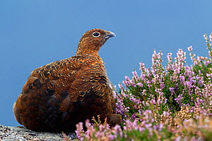 Red grouse (Lagopus lagopus scoticus) sitting on a gritstone boulder, with flowering heather (Ericaceae sp), Peak District NP, August 2011  -  Ben Hall / 2020VISION
